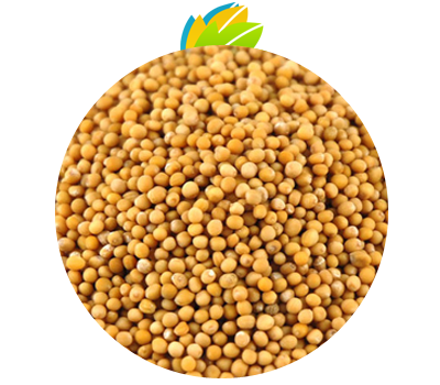 Yellow Mustard Seeds | Unjha Agro Company , Unjha Agro Company is a leading Oil Seeds,Spics ...