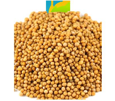 Yellow Mustard Seeds | Unjha Agro Company , Unjha Agro Company is a leading Oil Seeds,Spics ...